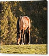 Grazing Horse At Sunset Canvas Print