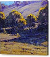 Grazing Kangaroos Canvas Print
