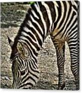 Grazing Zebra At The Buffalo Zoo 2 Canvas Print