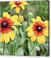 Great Blanket Flower Gaillardia Canvas Print