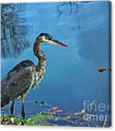 Great Blue Along The Canal Canvas Print