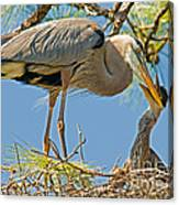 Great Blue Heron Adult Feeding Nestling Canvas Print