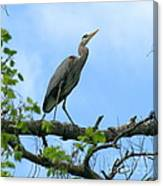 Great Blue Heron Afternoon Fishing  Canvas Print