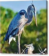 Great Blue Heron And Baby Canvas Print