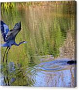 Great Blue Heron And Coot Canvas Print
