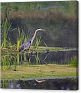 Great Blue Heron At Down East Maine Wetland Canvas Print