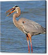 Great Blue Heron Flipping A Shrimp Canvas Print