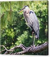 Great Blue Heron I Canvas Print