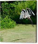 Great Blue Heron In Flight 6 Canvas Print