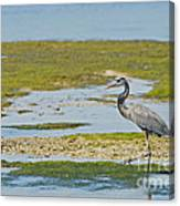 Great Blue Heron In Florida Canvas Print