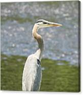 Great Blue Heron In Light  Canvas Print