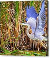 Great Blue Heron Lift Off Canvas Print