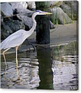 Great Blue Heron - Mealtime Canvas Print