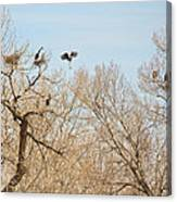 Great Blue Heron Nest Building 1 Canvas Print