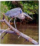 Great Blue Heron Oak Creek Canyon Sedona Arizona Canvas Print