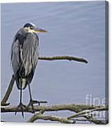 Great Blue Heron On Alert Canvas Print