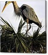 Great Blue Heron On Palm Canvas Print