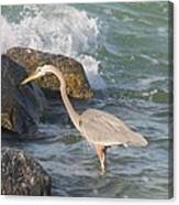 Great Blue Heron On The Prey Canvas Print