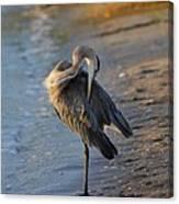 Great Blue Heron Preening On The Beach Canvas Print