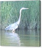 Great Blue Heron Reflecting Canvas Print