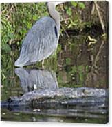 Great Blue Heron Standing In Water Canvas Print