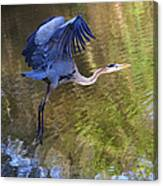 Great Blue Heron Taking Off Canvas Print