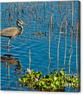 Great Blue Heron Wading II Canvas Print