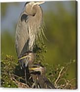 Great Blue Heron With Chicks Florida Canvas Print