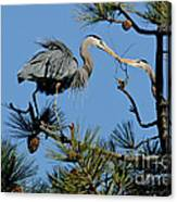 Great Blue Heron With Nest Material Canvas Print