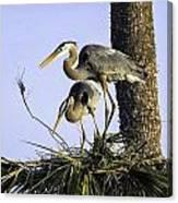 Great Blue Herons Nesting Canvas Print