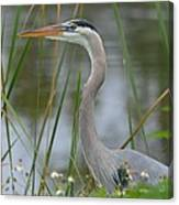 Great Blue In The Reeds Canvas Print