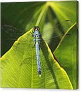 Great Blue Skimmer Canvas Print