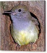 Great Crested Flycatcher In Nest Cavity Canvas Print