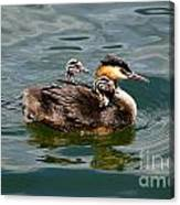 Great Crested Grebe Canvas Print