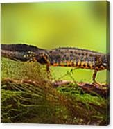 Great Crested Newt Or Water Dragon Canvas Print