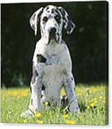 Great Dane Puppy Canvas Print