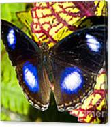 Great Eggfly Butterfly Canvas Print