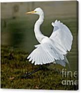 Great Egret Alighting Canvas Print