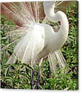 Great Egret Courtship Display Canvas Print