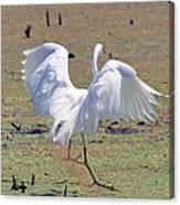 Great Egret Dancing In Auroraville Canvas Print