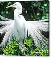 Great Egret Displaying Breeding Plumage Canvas Print