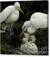 Great Egret Family 2 Canvas Print