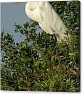 Great Egret In A Tree Canvas Print