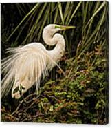 Great Egret In Breeding Plumage Canvas Print