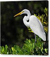 Great Egret In The Florida Everglades Canvas Print