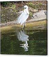 Great Egret In The Lake Canvas Print
