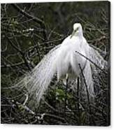 Great Egret In Tree Canvas Print