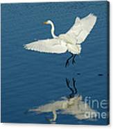 Great Egret Landing Canvas Print