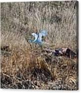Great Egret Takes Flight Canvas Print