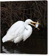 Great Egret With Big Fish Canvas Print